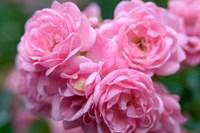 Pink Landscape Roses, Jackson, New Hampshire Fine Art Print