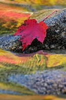 Red Maple leaf on rock in Swift River, White Mountain National Forest, New Hampshire Fine Art Print