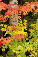 Autumn color, White Mountain Forest, New Hampshire Fine Art Print
