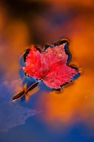 Maple Leaf in Fall Reflections, White Mountains, New Hampshire Fine Art Print
