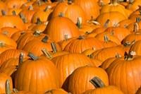 Pumpkins in Concord, New Hampshire Fine Art Print