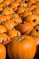Pumpkins in the city of Concord, New Hampshire Fine Art Print