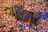 Fall Leaves and Reflections, Nature Conservancy Land Along Crommett Creek, New Hampshire Fine Art Print