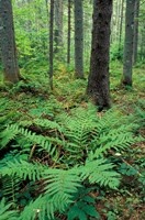 Ferns in the Understory of a Lowland Spruce-Fir Forest, White Mountains, New Hampshire Fine Art Print