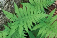 Long Beech Fern, White Mountains National Forest, Waterville Valley, New Hampshire Fine Art Print
