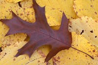 Northern Red Oak Leaf in Fall, Sandy Point Trail, New Hampshire Fine Art Print