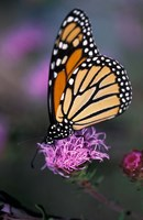 Monarch Butterfly on Northern Blazing Star Flower, New Hampshire Fine Art Print