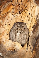 Eastern Screech Owl, Rye, New Hampshire Fine Art Print