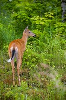 Whitetail deer, Pittsburg, New Hampshire Fine Art Print