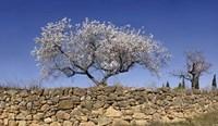 Almond Blossom, Vinaros, Spain Fine Art Print