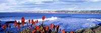 Red Hot Poker, San Diego, California Fine Art Print