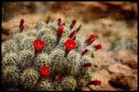 Desert Flower 3 Fine Art Print