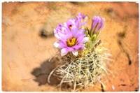 Desert Flower 4 Fine Art Print