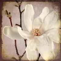 Paper Magnolia Closeup Framed Print