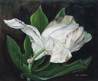 Gletcher Tulip Fine Art Print