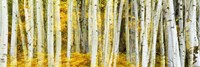 Double Xxposure Aspen Grove, Grand Teton National Park, Wyoming Fine Art Print