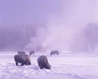 Bison Grazing in Snow, Yellowstone National Park, Wyoming Fine Art Print