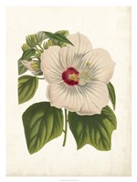Striking Hibiscus Fine Art Print