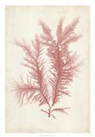 Coral Sea Feather II Fine Art Print