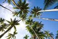 Coconut palm grove, Lavena Village, Taveuni, Fiji Fine Art Print