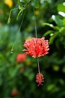 Coral Hibicus flower, Taveuni, Fiji Fine Art Print