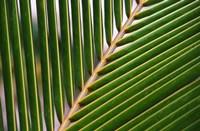 Palm, Fiji Fine Art Print