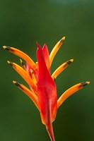 False Bird-Of-Paradise Flower (Heliconia psittacorum), Nadi, Viti Levu, Fiji Fine Art Print