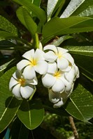 Frangipani flowers (Plumeria), Nadi, Viti Levu, Fiji Fine Art Print