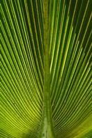 Palm frond, Nadi, Viti Levu, Fiji Fine Art Print