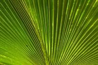 Palm frond, Fiji Fine Art Print