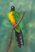 Sulphur-breasted Musk Parrot, Tropical bird, Fiji Fine Art Print