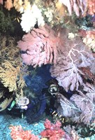 Diver Peers Out From Crevice, Flanked by Brilliant Sea Fans and Soft Corals, Fiji, Oceania Fine Art Print