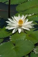 Fiji, Water lily flower Fine Art Print
