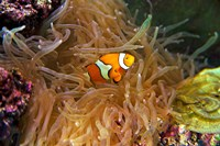 Close up of a Clown Fish in an Anemone, Nadi, Fiji Fine Art Print