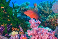 Fairy Basslet fish and Coral, Viti Levu, Fiji Fine Art Print