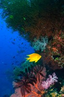 Yellow Damsel, Gorgonian sea fan, Fish, Fiji Fine Art Print