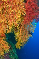 Gorgonian Sea Fan, Marine life, Viti Levu Fiji Fine Art Print