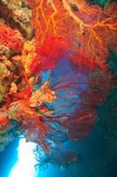 Gorgonian Sea Fan, Marine life, Fiji Fine Art Print