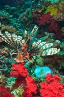 Lionfish, Rainbow Reef, Taveuni Island, Fiji Fine Art Print