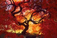 Japanese Maple, Darien, Connecticut Fine Art Print