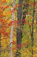 Fall in a Mixed Deciduous Forest in Litchfield Hills, Kent, Connecticut Fine Art Print
