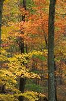 Oak-Hickory Forest in Litchfield Hills, Connecticut Fine Art Print
