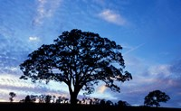 Oak Trees at Sunset on Twin Oaks Farm, Connecticut Fine Art Print