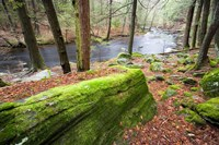 Forest of Eastern Hemlock Trees, Connecticut Fine Art Print