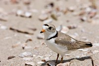 A Piping plover, Long Beach in Stratford, Connecticut Fine Art Print