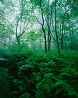 Forest Ferns in Misty Morning, Church Farm, Connecticut Fine Art Print
