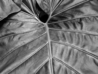 Big Leaf 2 Fine Art Print