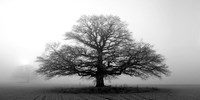 Tree In The Mist Fine Art Print