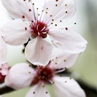 Cherry Blossom 3 Fine Art Print