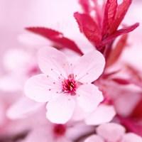 Pink Blossom 1 Fine Art Print